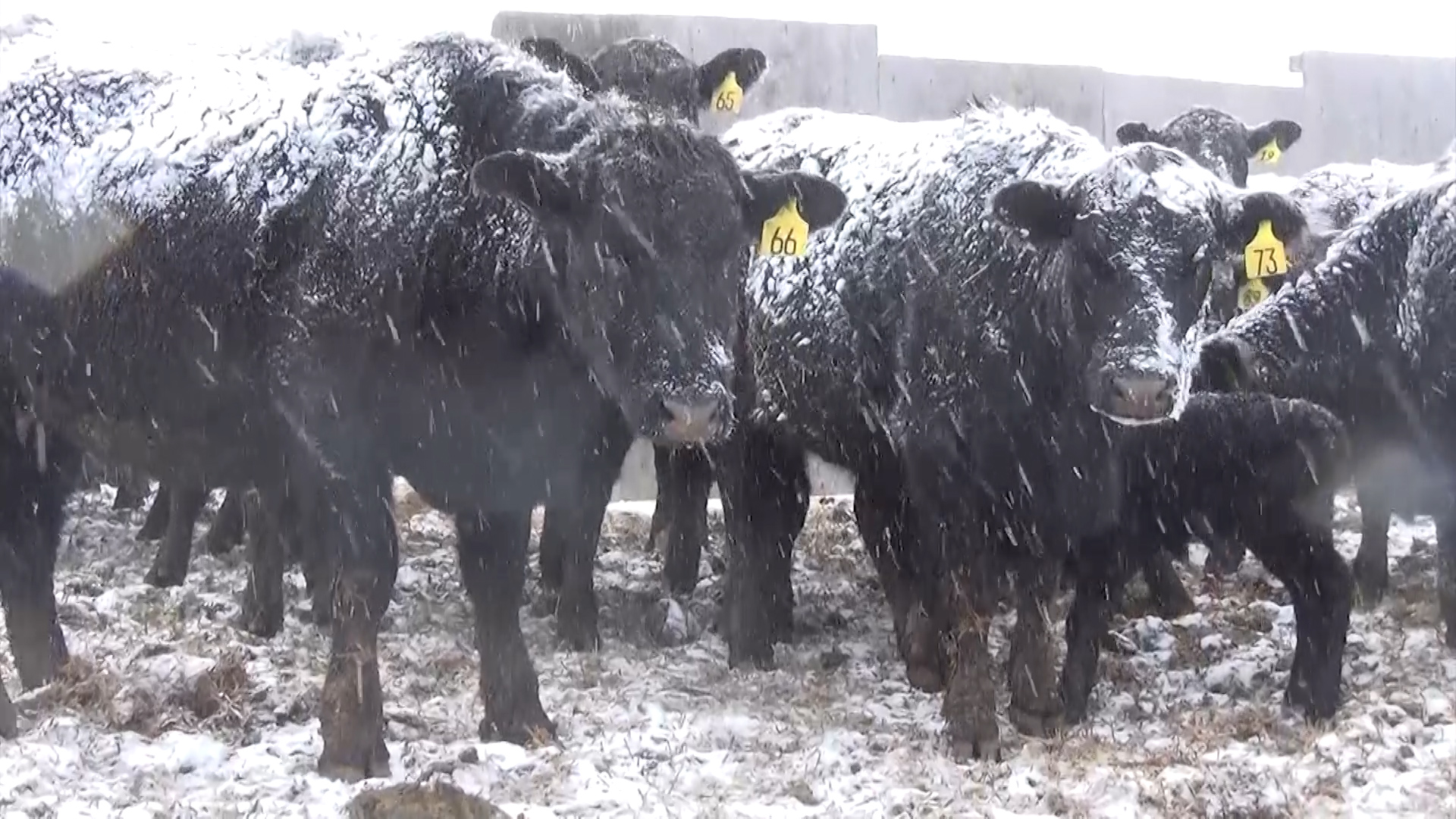 Ranchers-Dig-Out-Following-Late-Winter-Blizzard